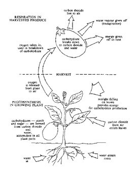 Cellular Respiration Coloring Worksheets & Teaching