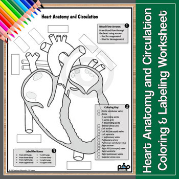 Heart Anatomy and Circulation Worksheet Color & Label
