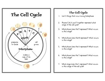 Cell Cycle Activity Worksheet